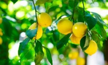 Tucumàn:El vivero de cítricos más grande del mundo producirá limones para exportar a EEUU