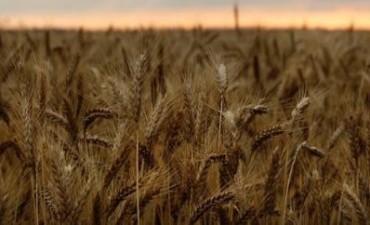 Es récord de la producción de trigo en Córdoba