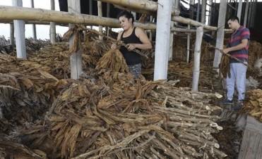 Tucumán:Los pequeños productores de tabaco perdieron la cosecha y el porvenir
