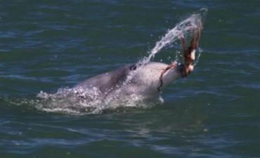 Cazando al kraken: la impresionante estrategia de los delfines para pescar peligrosos pulpos