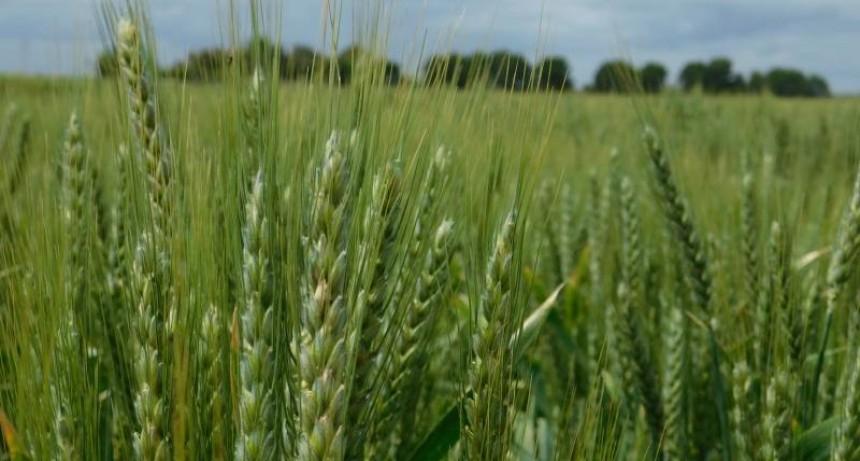 Fertilizar presentó aplicación de nutrientes para el trigo