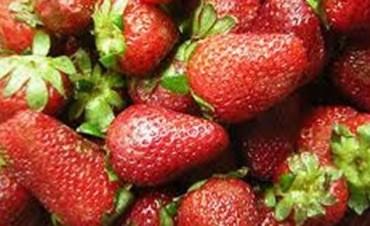 Buscan aumentar la producción de frutilla