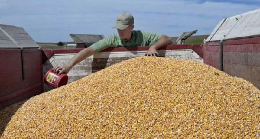 Siembra récord de maíz para la campaña