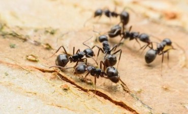 Crean la mayor base de datos sobre convivencia de las hormigas