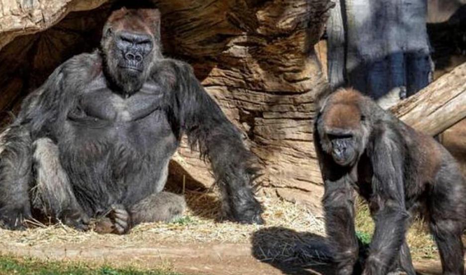 Dos gorilas en cuarentena infectados de Coronavirus