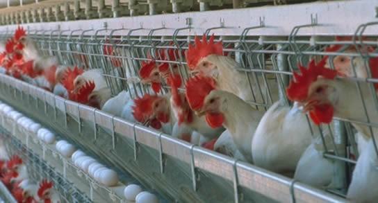 Empleados del sector avícola anuncian medidas de fuerza