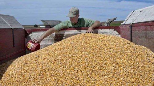 Exportaciòn: Fuerte ingreso de maíz 2015/16 al mercado