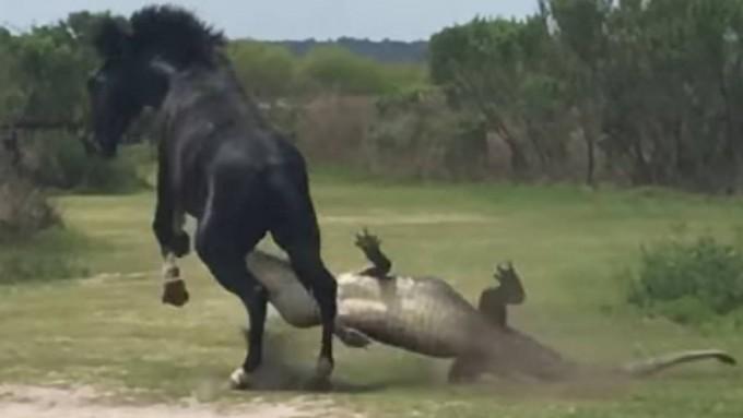 Caballo vs. Caimán, la inesperada batalla viral de la naturaleza