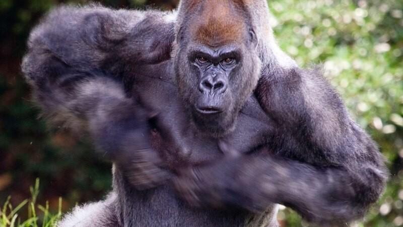 Porque los gorilas se golpean el pecho