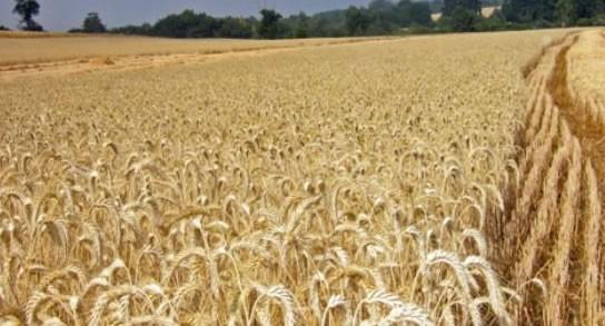 Se estima una caída del 50% de trigo en Entre Ríos