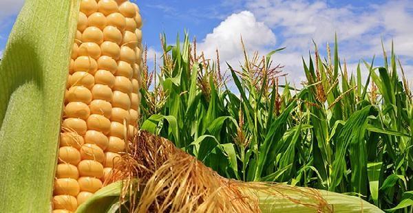 Estiman que la producción de maíz cerrará en 40 millones de toneladas