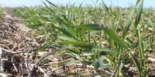 La siembra del trigo del ciclo 2020/21 se adelanto