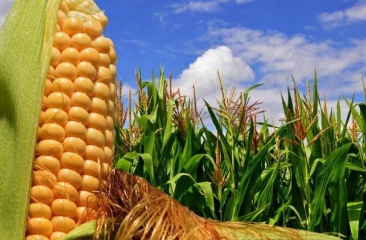 El precio del maíz volvió a subir en Chicago y mantiene latente la chance de alzas mayores