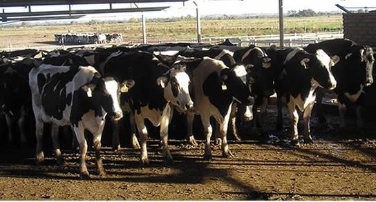 Exitoso megatambo alberga 10 mil vacas