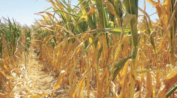 Pérdidas para el trigo y el maíz