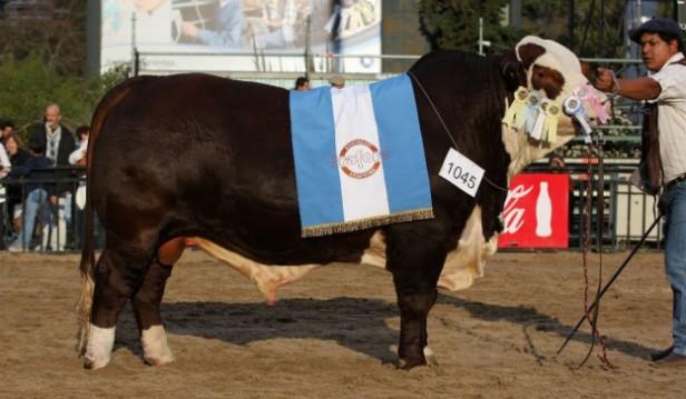 Federal, el toro Angus consagrado bicampeón de la raza en Palermo