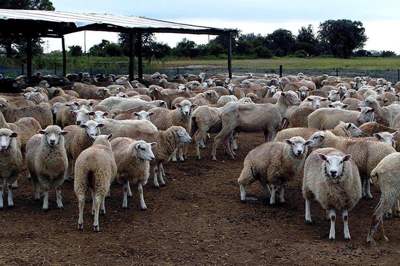 Diputados avanza en el proyecto de ganadería ovina