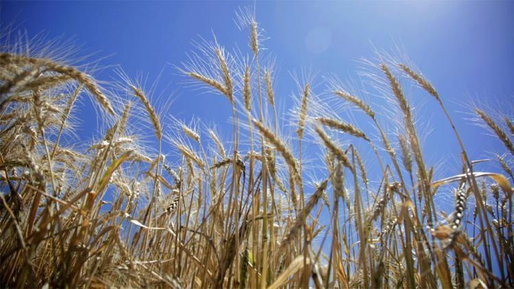 El trigo sube por la previsión de una menor oferta mundial
