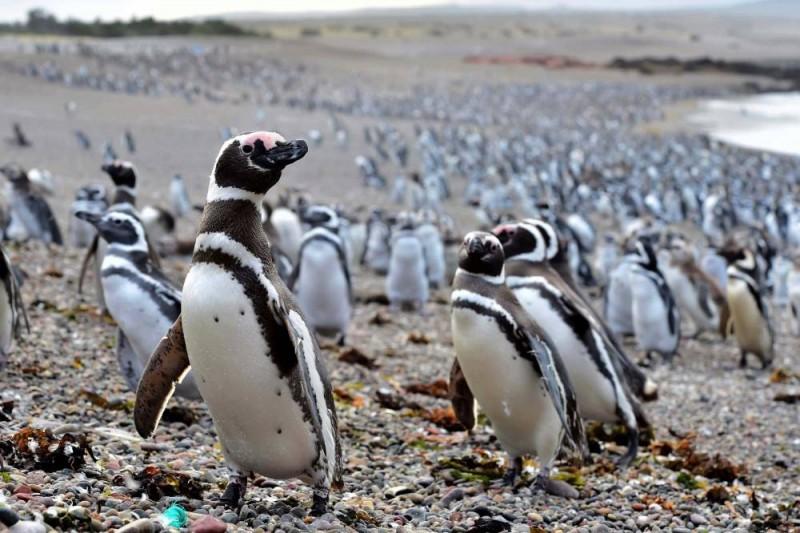 Pingüinos de Magallanes arriban a la reserva de Santa Cruz