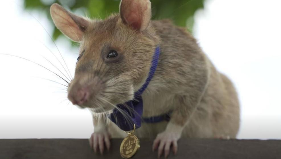 Magawa, condecorada con una medalla de oro por detectar bombas