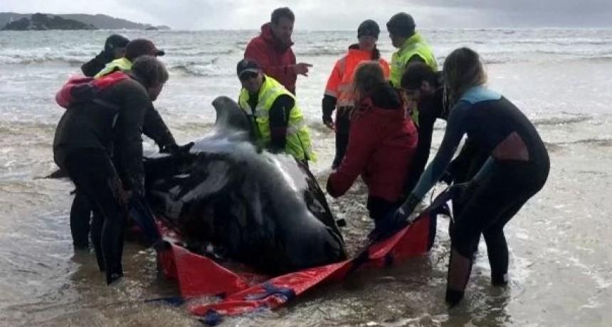 Mueren unas 380 de las ballenas varadas en el sur de Australia