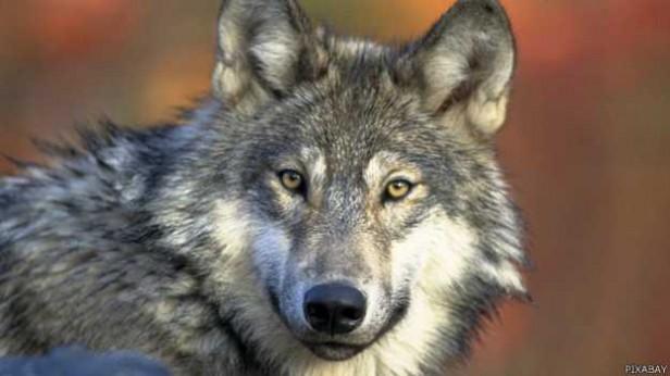 ¿Por qué en España quieren matar a casi 200 lobos?