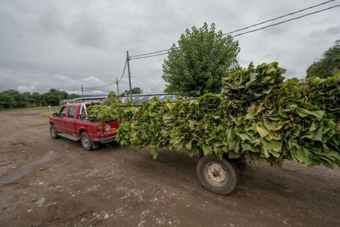 Argentina reabrió un registro para exportar 10.750 toneladas de tabaco a Estados Unidos