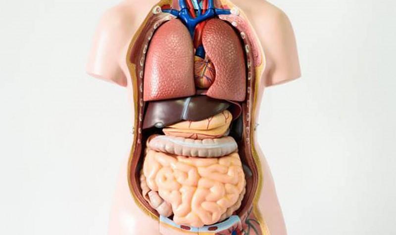 Los órganos sin los cuales puedes vivir
