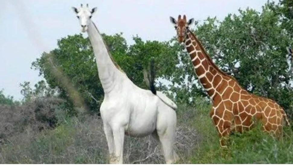 La jirafa blanca  es un ùnico ejemplar en el planeta