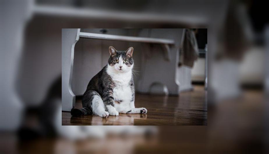 Un gato obeso es alentado a llegar a su peso ideal