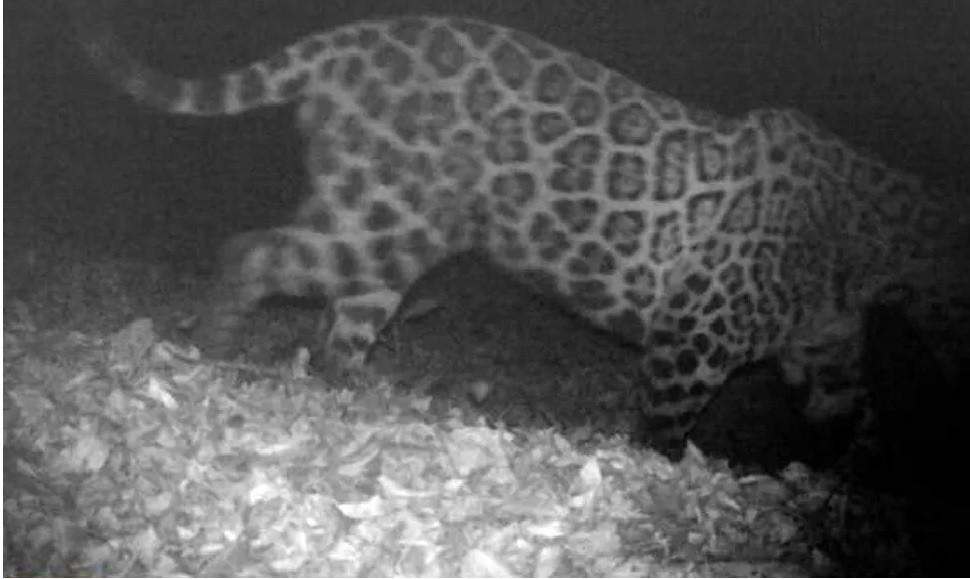 La Provincia registra imágenes de yaguaretés y tapires
