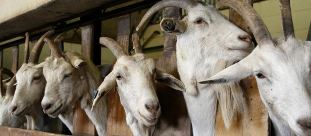 Histórico:Chaco vende carne de cabra a Qatar