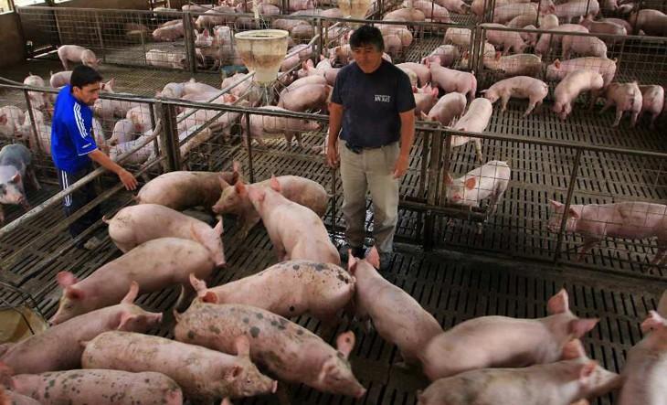 El sector productor porcino preocupado ante el proyecto de rebaja del IVA