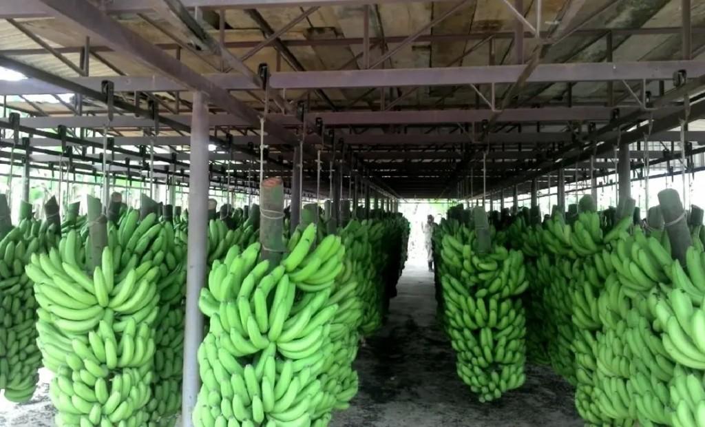 Capitales privados Invirtieron US$6 millones para competir con las bananas del exterior